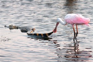 bird eating an alligator alive lunch yum
