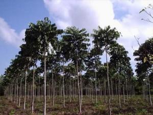 cay dai ngua - horse balls plant tree