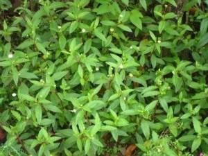 co lo noi - pot ash grass
