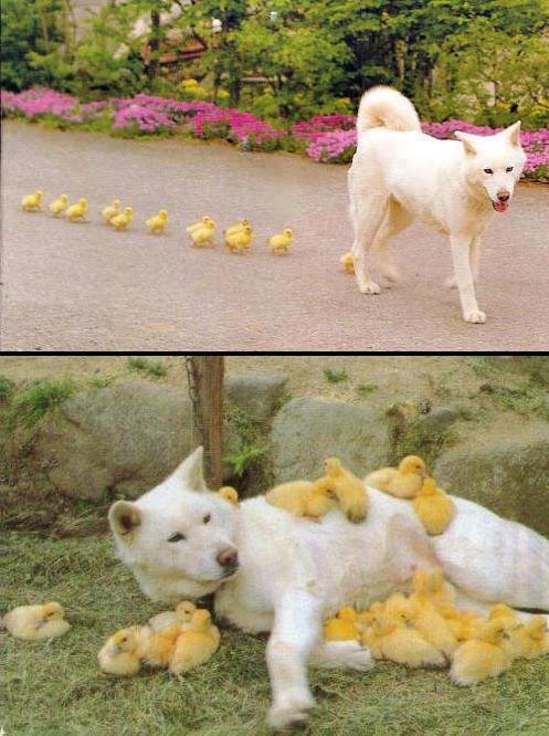 Chicks raised by dog