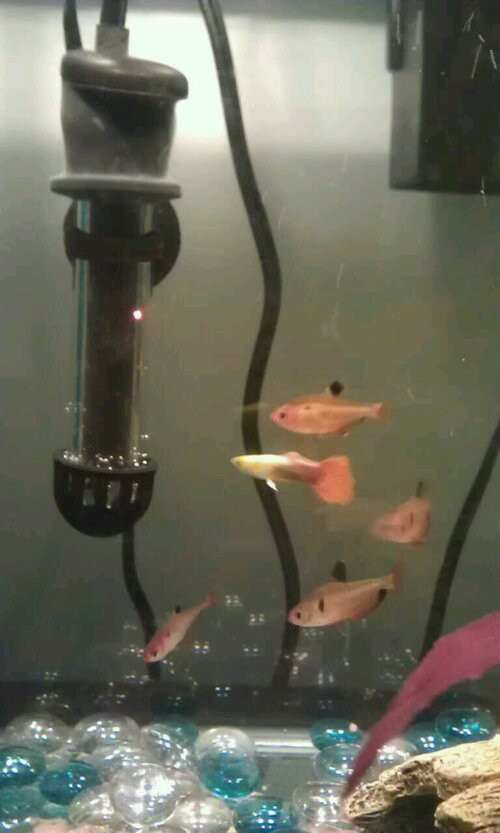got a few more tetras fish from petsmart for $1 each except for the guppy like $3