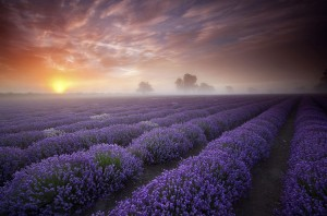 Lavender Fields, UK and France