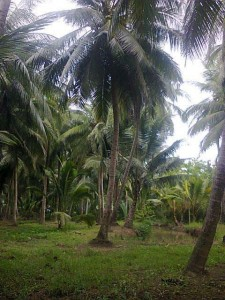 Vietnam coconut plantation backyard country side homes in Go Cong Tien Giang Tan Phu Dong Cu Lao Tan Thoi