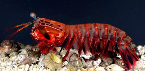 mantis shrimps can crack and eat hard clams and crab shells even crack fish aquarium glass with its fast hits