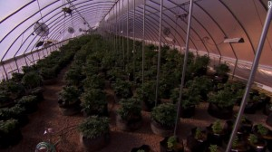 grow marijuana legally for medical purpose lots of it and anyone can get license to do so?