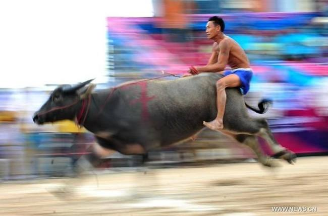 Asian bull riding style! or is this a water buffalo?
