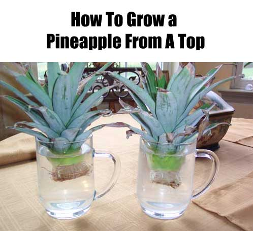 how to grow a pineapple in a month