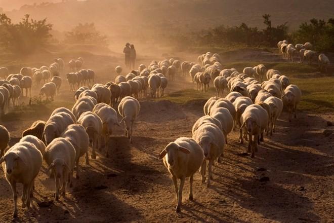 Trang trại cừu Phan Rang - Phan Rang Vietnam, sheep ranch